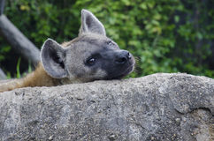 Dawn Hyena Royalty Free Stock Photography