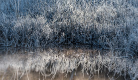 Dawn.  Ice and frost covered wetland foliage.  Cool Bluegrass bushes. Royalty Free Stock Photo