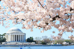 Dawn at the Jefferson Memorial during the Cherry Blossom Festiva Stock Photos