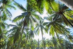 Dawn in the jungle. Palm trees Koh Samui Stock Photo