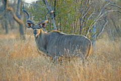 Dawn Kudu Stock Images