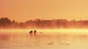 Dawn on the lake. Pair of swans floating on the morning sunrise stock video footage