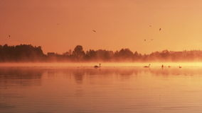 Dawn on the lake. Pair of swans floating on the morning sunrise stock video