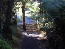 Dawn licht die een kreupelbosje van boomvarens ingaan Stock Foto