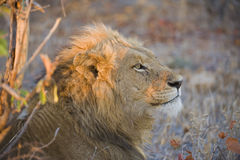 Dawn Lion Royalty Free Stock Image