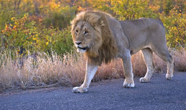 Dawn Lion Stock Photography