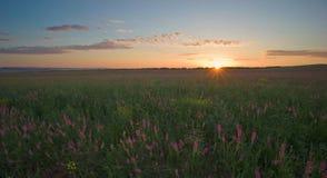 Dawn met lupine Stock Fotografie