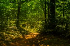 Trail in mystical forest. Dawn in the mysterious forest and trail that pass through the forest Stock Photos