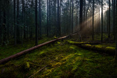 Dawn in the national park 'Smolensk lakeland'. The sun's rays fall on the grass and fallen trees in a misty forest Royalty Free Stock Photos