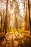Dawn in old autumn forest Royalty Free Stock Images