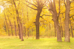 Dawn in old autumn oak forest Stock Image