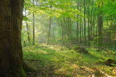 Dawn in an old forest. With sunrays Royalty Free Stock Photography