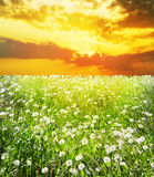 Dawn over field with dandelions Royalty Free Stock Photo