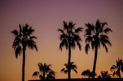 Dawn of palm trees Phoenix Arizona United States. Dawn of palm trees silhouette during sunset Phoenix Arizona United States stock photos