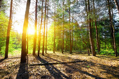 Dawn in a pine forest Royalty Free Stock Photo