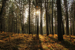 Dawn in a pine forest. With bright sunshine Royalty Free Stock Images