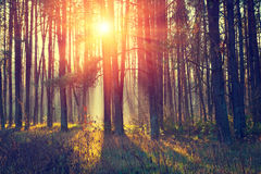Dawn in the pine forest. Pine forest in the morning Stock Photos