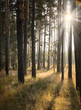 Dawn in the pine forest Stock Image