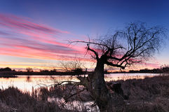 Dawn with pink clouds over a wild pond with lonely crying tree in autumn morning Stock Photography