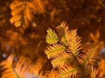 Dawn redwood Royalty Free Stock Images