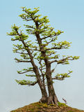 Dawn Redwood bonsai Stock Images