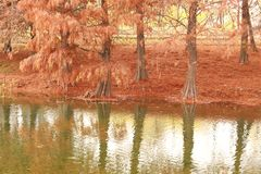 Dawn redwood. The dawn redwood and its reflection Royalty Free Stock Photos