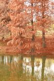 Dawn redwood. The dawn redwood and its reflection Stock Photos
