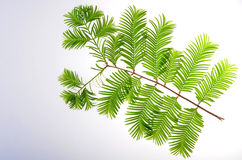 Dawn-redwood ( Metasequoia glyptostroboides ) leaf. In summer royalty free stock photos