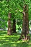 Dawn Redwood Trees Royaltyfri Foto