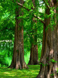 Dawn Redwood Trees. A group of mature Dawn Redwood trees stock photos