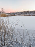 Dawn, reed on a frozen lake with fresh snow Stock Photography