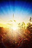 Dawn in the reeds Stock Photography