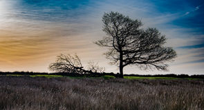 Dawn on Single Oak Mourning. A silhouette in the dawn light of two Oak trees one of which has been felled by storms. At the base of the trees a patch of green Royalty Free Stock Image