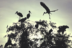 Dawn storks. Roosting openbill storks royalty free stock image