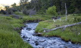 Dawn stream. Meandering stream in Montana at sunrise stock photos