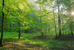 Dawn in the summer forest. Greenery Royalty Free Stock Photo