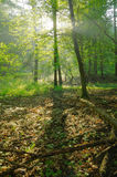 Dawn in the summer forest. With sunrays Royalty Free Stock Images