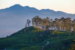 Dawn at tea plantation. Near Lipton's Seat, Haputale, Sri Lanka royalty free stock images