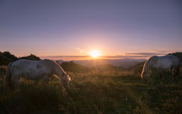 In the Dawn. Two white horses feeding in the sunset light stock photography