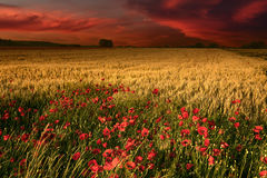Dawn with a view on wheat field and poppies Royalty Free Stock Image