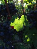 Dawn in the vineyard. A backlit grape leaf whiel the sun rises in the Cabernet Franc Vineyard stock photography