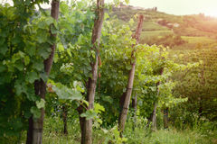 Dawn at the vineyard Stock Photo