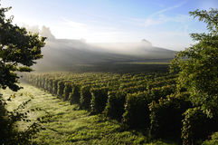 Dawn on vineyards Royalty Free Stock Images