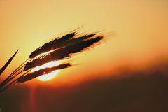Dawn in a wheat field Royalty Free Stock Images