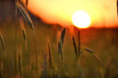 Dawn in a wheat field Stock Photography