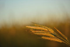 Dawn in a wheat field Stock Images