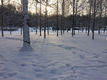 Dawn in the winter forest stock image