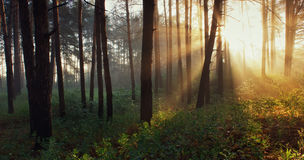 Dawn in the wood Stock Photos