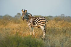Dawn Zebra Royalty Free Stock Photos