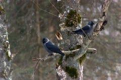 Daws em uma árvore Foto de Stock Royalty Free